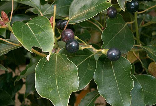 Листья и плоды камфорного дерева