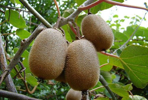 Плоды киви на ветке